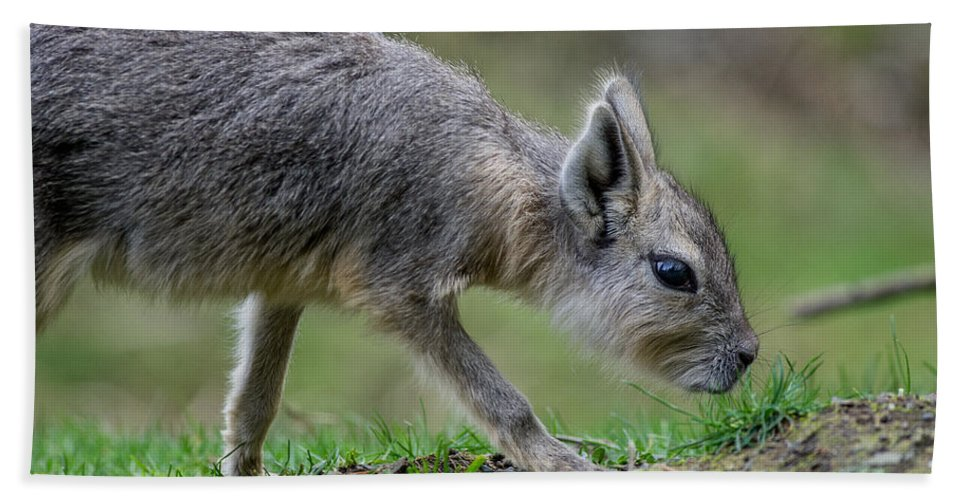 Patagonian Cavy Beach Towel featuring the photograph Patagonian Cavy Youngin by Greg Nyquist