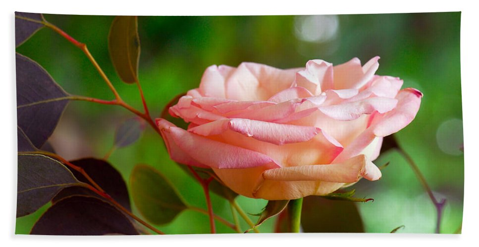 Rose Beach Towel featuring the photograph Peace Rose by Marie Hicks