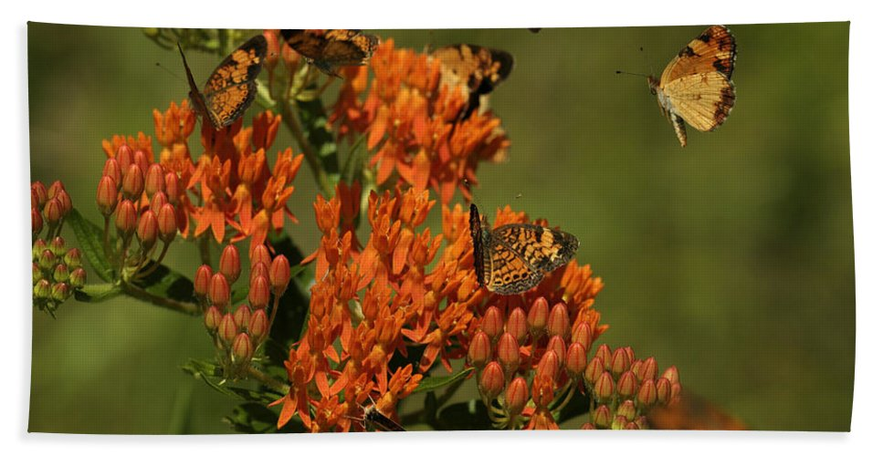 Pearly Crescentpot Butterfly Beach Towel featuring the photograph Pearly Crescentpot Butterflies Landing On Butterfly Milkweed by Daniel Reed