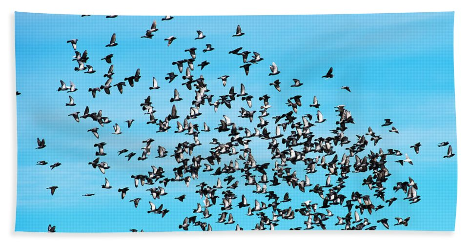 Pigeon Beach Towel featuring the photograph Pigeon Flight by Edward Peterson