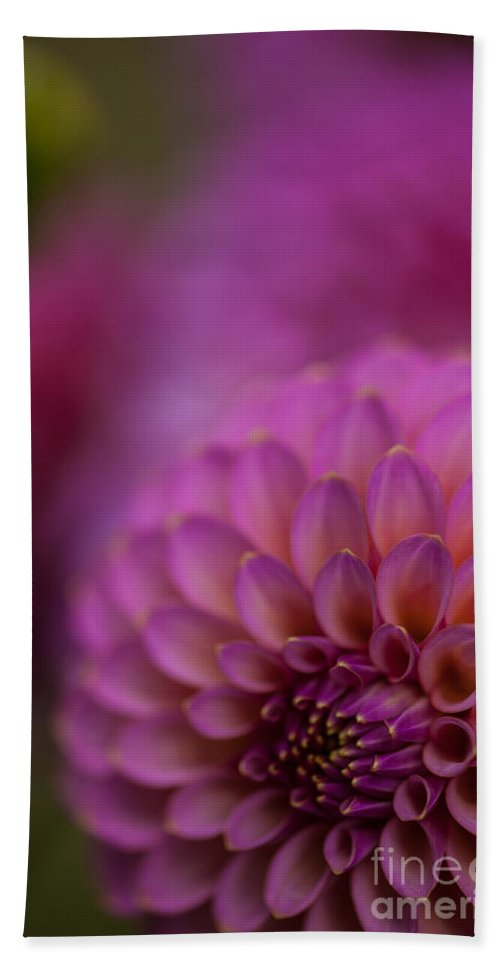 Dahlia Beach Towel featuring the photograph Pink Dazzle by Mike Reid