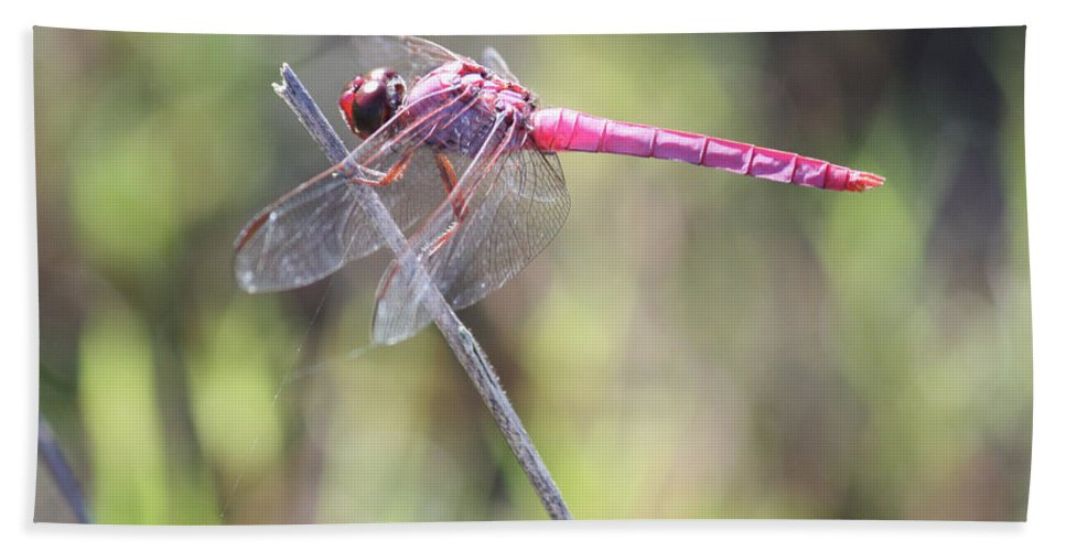 Dragonfly Beach Towel featuring the photograph Pink Dragonfly In The Marsh by Carol Groenen
