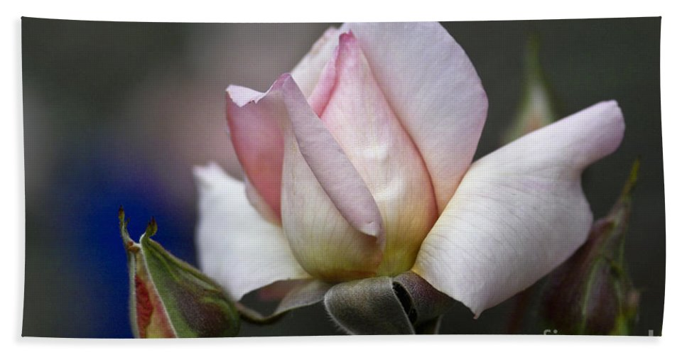 Rose Beach Towel featuring the photograph Pink Rose Bloom by Heiko Koehrer-Wagner