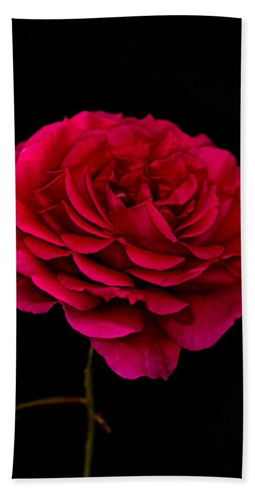 Rose Beach Towel featuring the photograph Pink Rose by Steve Purnell
