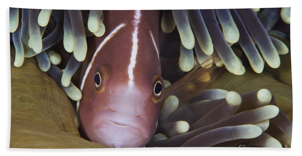 Sea Anemone Beach Towel featuring the photograph Pink Skunk Clownfish In Its Host by Terry Moore