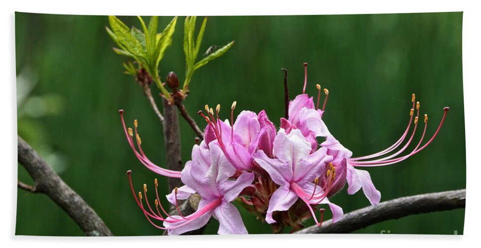 Pink Azalea Beach Towel featuring the photograph Pinxterbloom Azalea by Byron Varvarigos