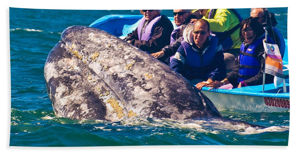Gray Whale Beach Towel featuring the photograph Pleased To Meet You by Don Schwartz