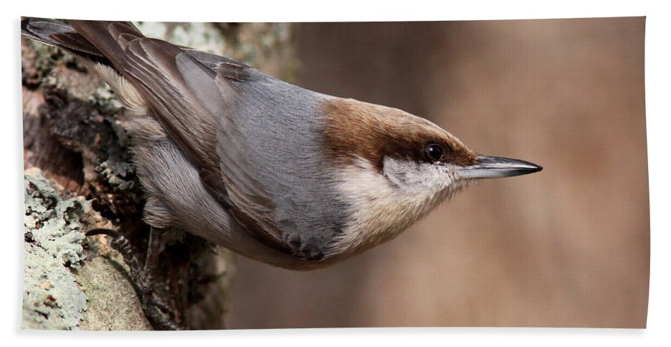 Brown Headed Nuthatch Beach Towel featuring the photograph Pointed by Travis Truelove