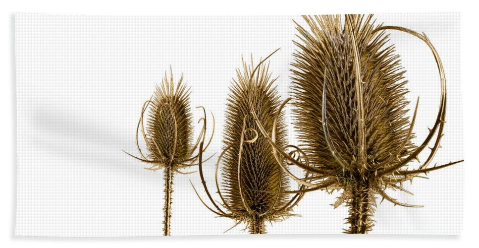 Art Beach Towel featuring the photograph Prickly Teasels On White by Randall Nyhof