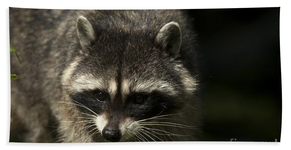Raccoon Beach Towel featuring the photograph Raccoon 2 by Sharon Talson