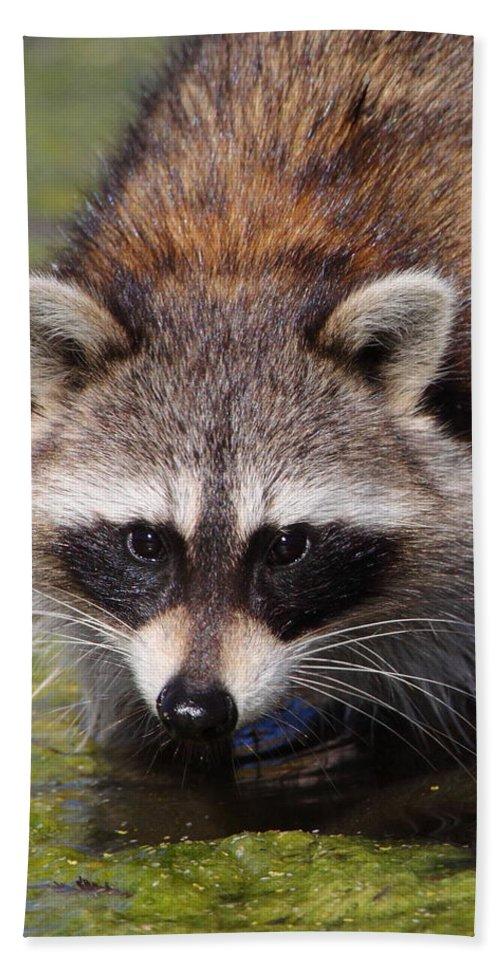 Raccoon Beach Towel featuring the photograph Raccoon Portrait by Bruce J Robinson