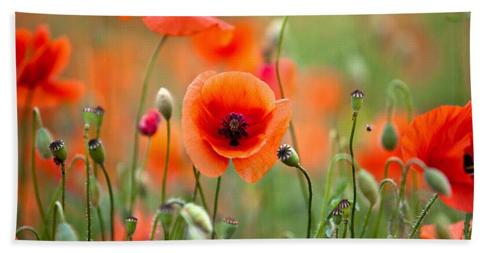 Poppy Beach Towel featuring the photograph Red Corn Poppy Flowers 05 by Nailia Schwarz