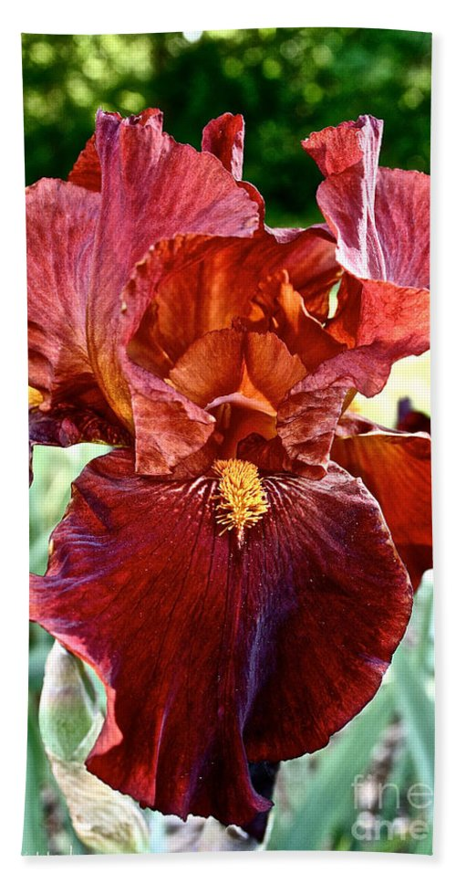Plant Beach Towel featuring the photograph Red Iris by Susan Herber