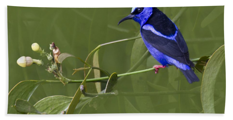 Red_legged_honeycreeper Beach Towel featuring the photograph Red-legged Honeycreeper - Cyanerpes Cyaneus by Heiko Koehrer-Wagner