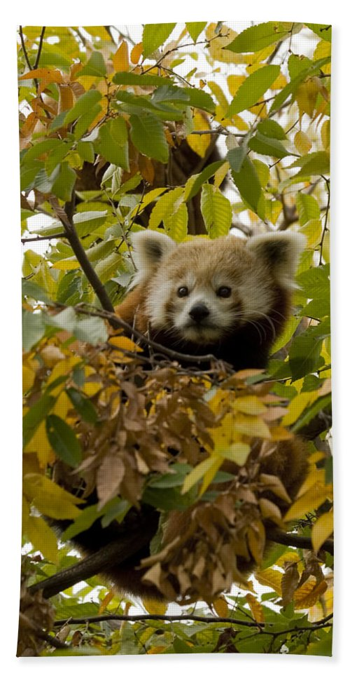 Red Panda Beach Towel featuring the photograph Red Panda by Crystal Heitzman Renskers