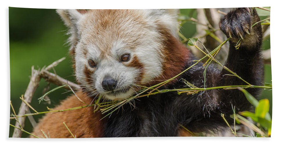 Animal Beach Towel featuring the photograph Red Panda Grasping by Greg Nyquist