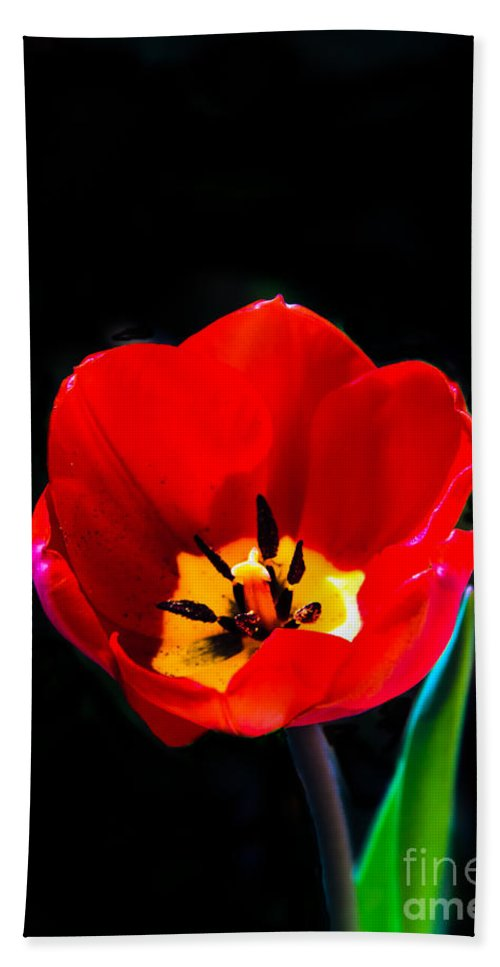 Plants Beach Towel featuring the photograph Red Tulip by Robert Bales