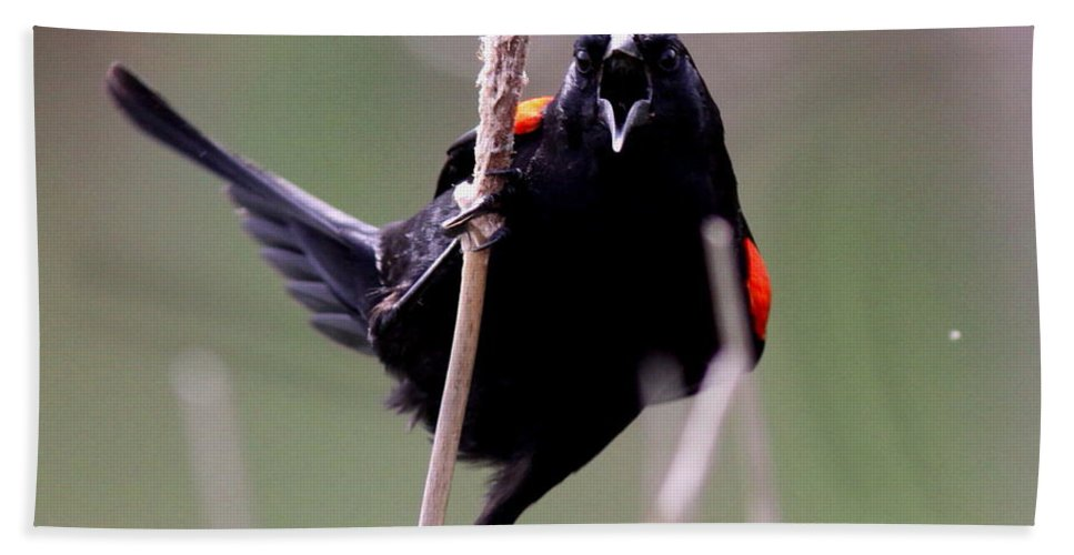 Birds Beach Towel featuring the photograph Red-winged Blackbird - Can You Hear Me Now by Travis Truelove