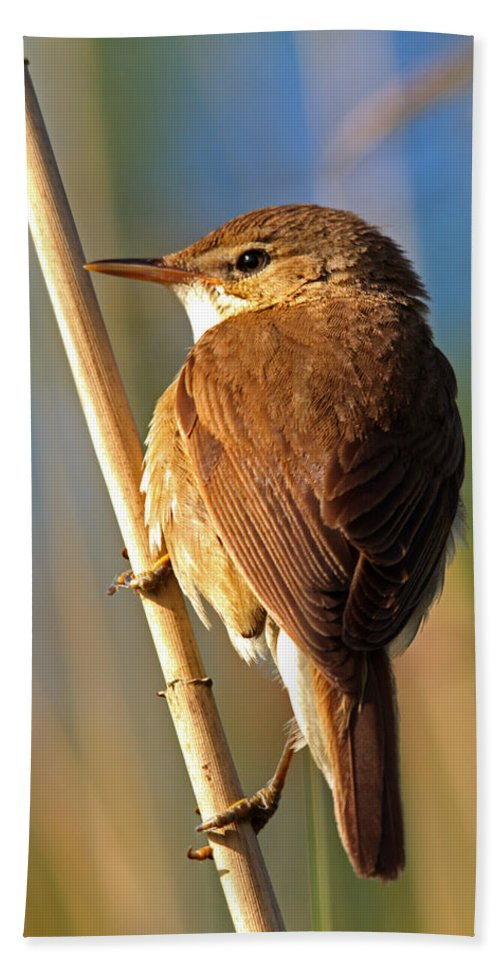 Reed Beach Towel featuring the photograph Reed Warbler by David Pringle