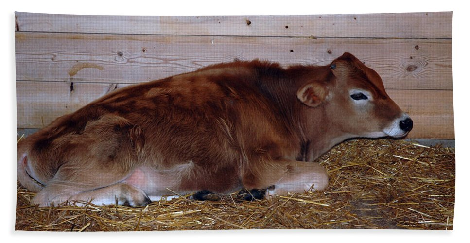 United_states Beach Towel featuring the photograph Resting Calf by LeeAnn McLaneGoetz McLaneGoetzStudioLLCcom