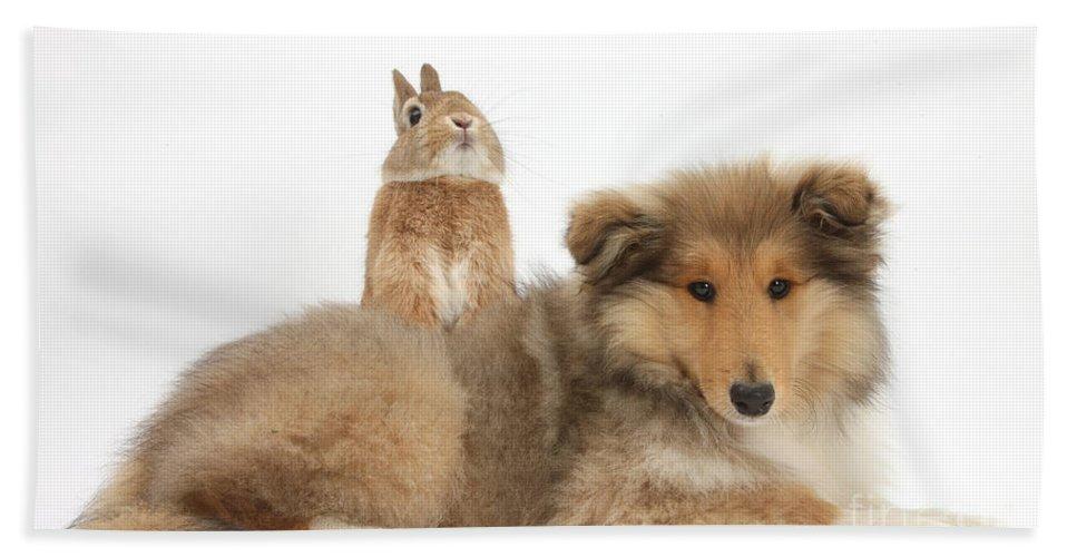 Nature Beach Towel featuring the photograph Rough Collie Pup With Sandy Netherland by Mark Taylor