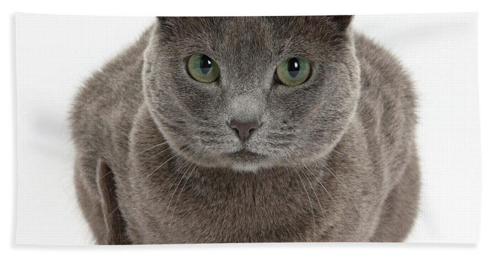 Nature Beach Towel featuring the photograph Russian Blue Cat by Mark Taylor
