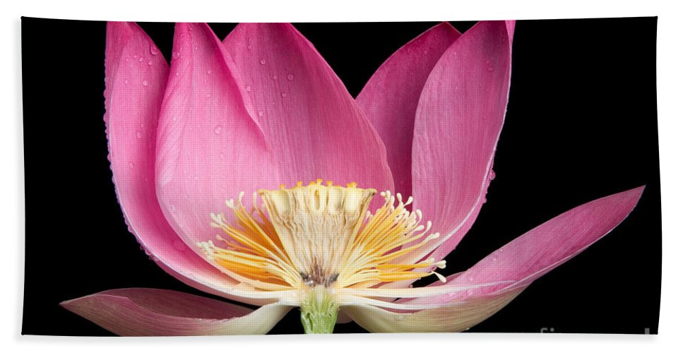 Aquatic Beach Towel featuring the photograph Sacred Lotus Nelumbo Nucifera by Ted Kinsman