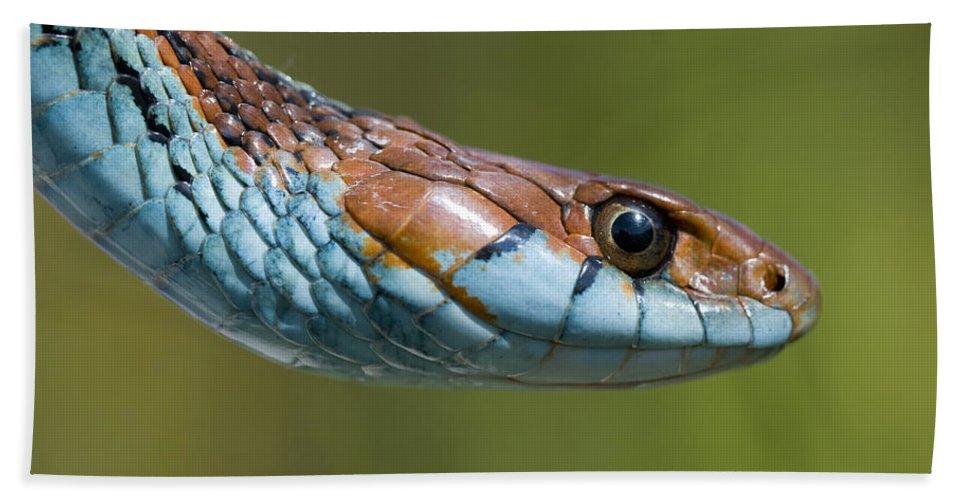 San Francisco Garter Snake Portrait Beach Towel