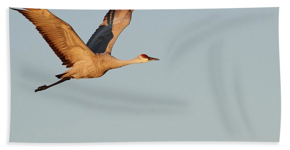 Animal Beach Towel featuring the photograph Sandhill Crane In The Morning Light by Sabrina L Ryan