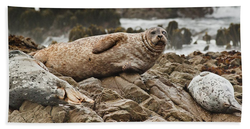 Seal Beach Towel featuring the photograph Seal Old Timers by Greg Nyquist