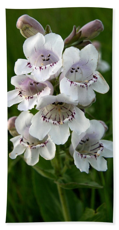 Showy Beach Towel featuring the photograph Showy Beardtongue Flower by Andrew Dyer Photography