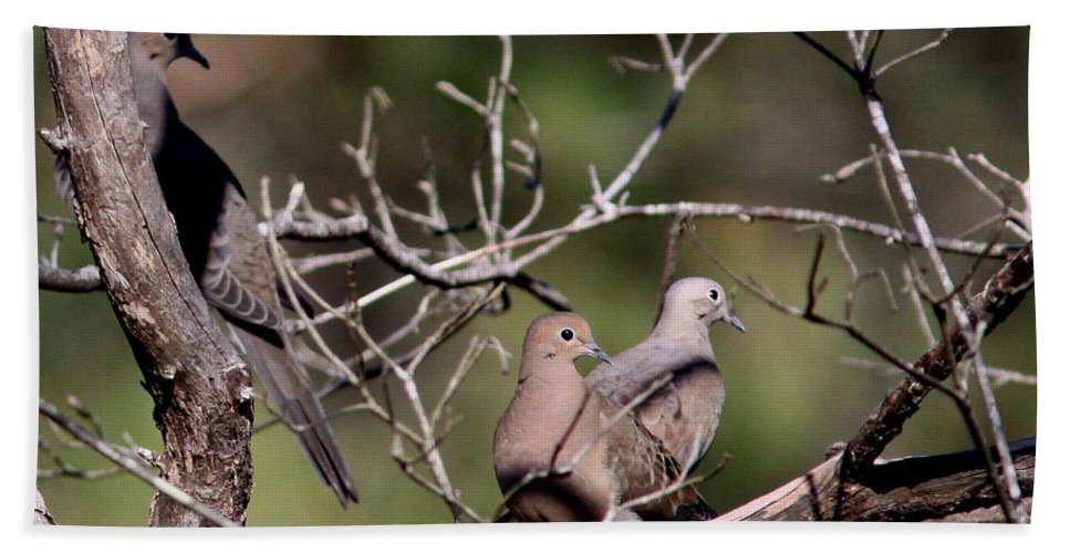 Nature Beach Towel featuring the photograph Siesta Time - Mourning Dove by Travis Truelove