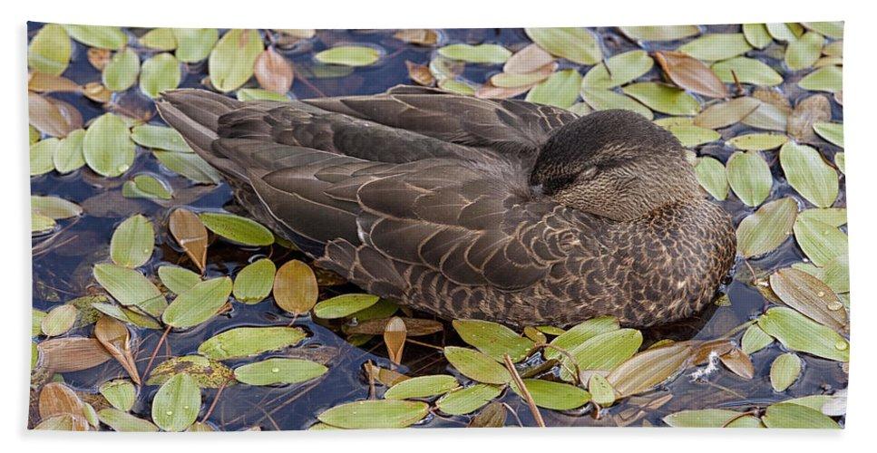 Duck Sleeping Fowl Waterfowl grand Falls-windsor Newfoundland black Duck Beach Towel featuring the photograph Sleeping Duck by Eunice Gibb