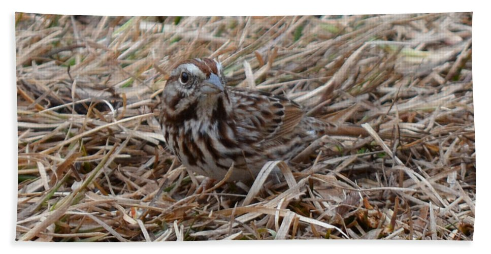 Bird Beach Towel featuring the photograph Song Sparrow by Donna Brown