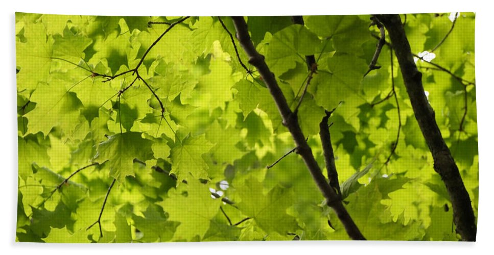 Maple Beach Towel featuring the photograph Spring - Beneath The Great Maple by Angie Rea