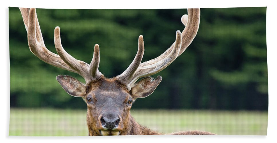 Roosevelt Elk Beach Towel featuring the photograph Spring Antlers by Greg Nyquist