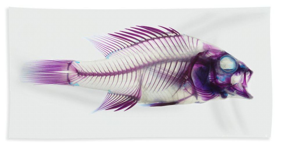 Stained Fish Beach Towel featuring the photograph Stained Rockbass Fish by Ted Kinsman