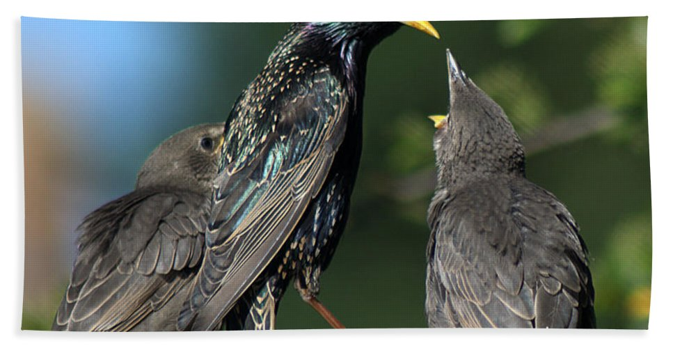 Starling Beach Towel featuring the photograph Starlings by Chris Day