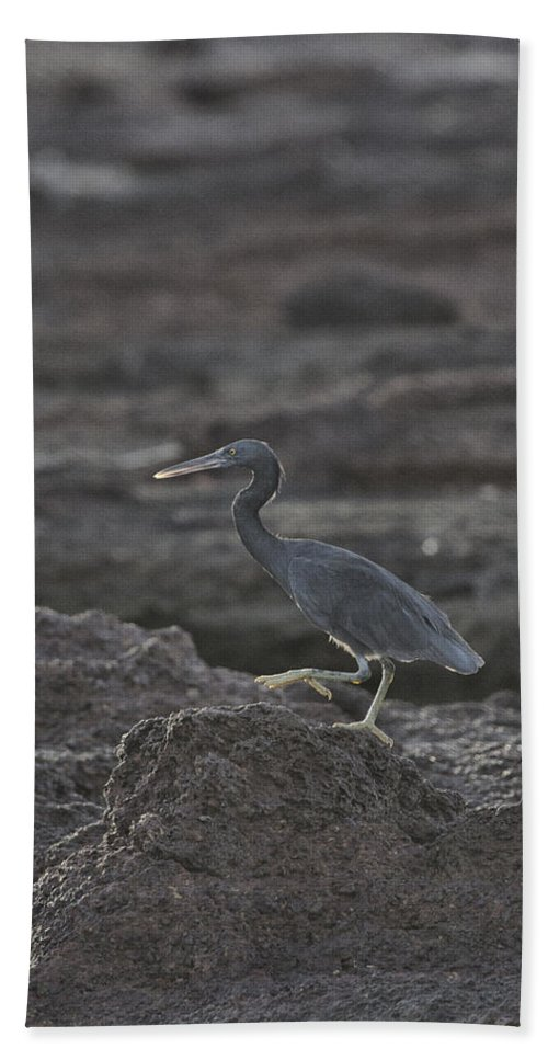 Eastern Reef Egret Beach Towel featuring the photograph Stepping Up by Douglas Barnard