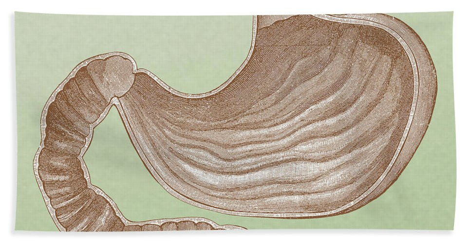 Abdominal Beach Towel featuring the photograph Stomach by Science Source