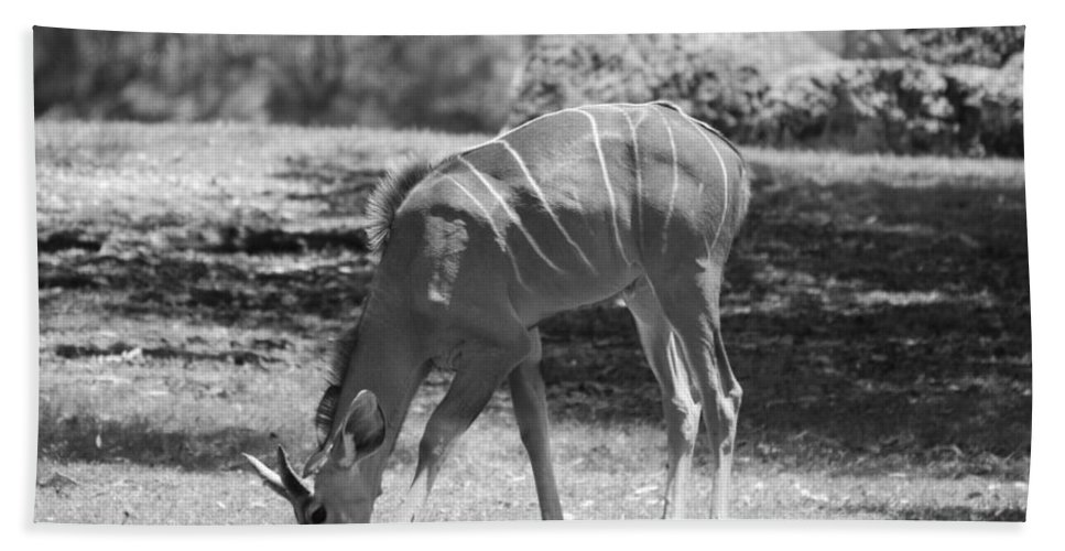 Animal Beach Towel featuring the photograph Striped Deer In Black And White by Rob Hans