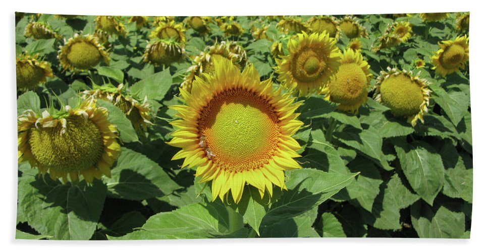 Sunflower Beach Towel featuring the photograph Sunflower And Honeybees July Two K O Nine II by Carl Deaville