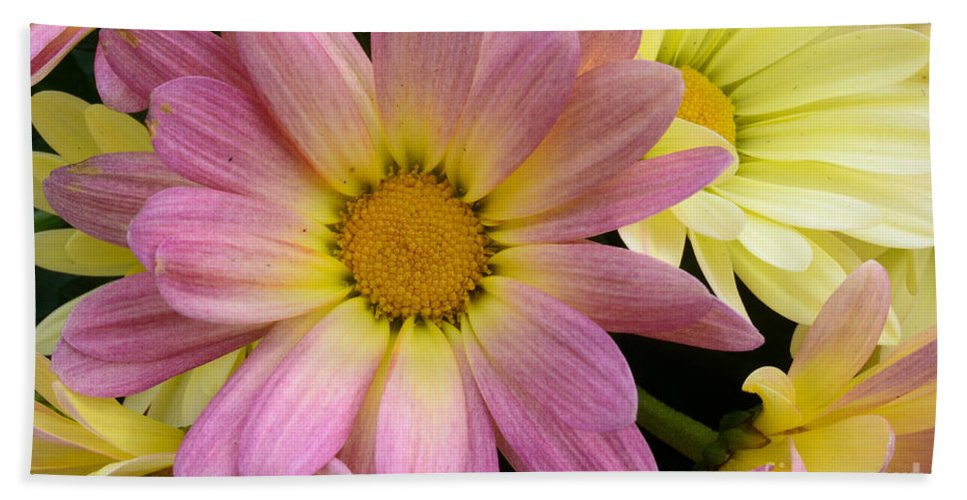 Chrysanthemum Beach Towel featuring the photograph Sunny Mums 2 by Jim And Emily Bush