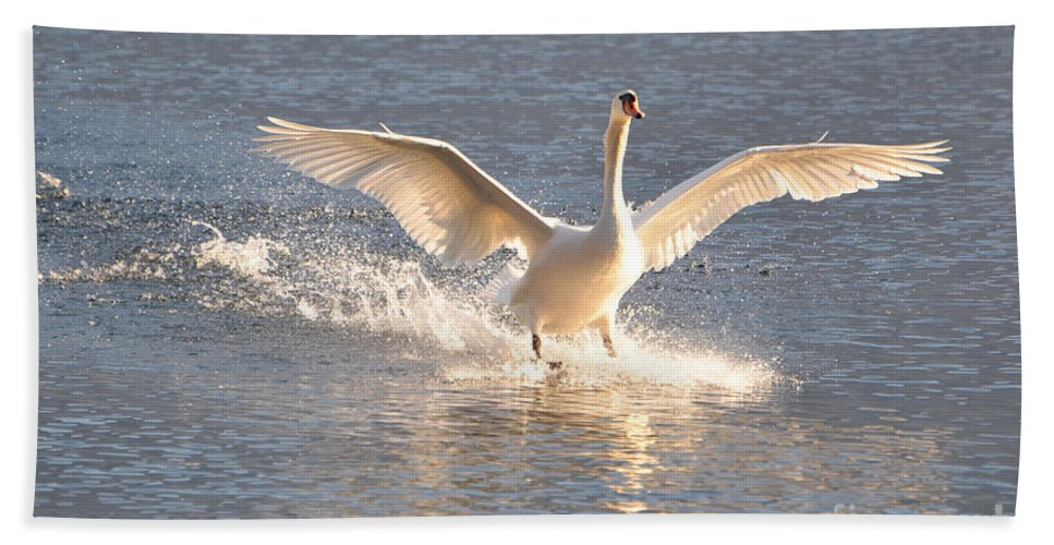 Swan Beach Towel featuring the photograph Swan Landing by Mats Silvan