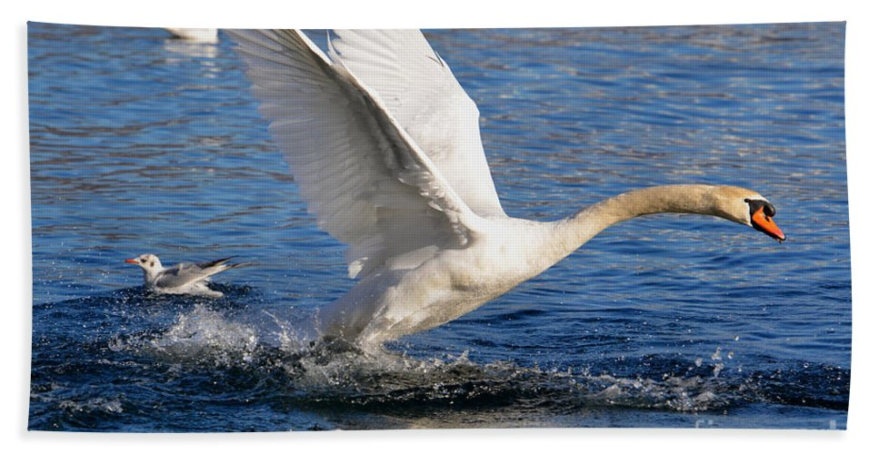 Swan Beach Towel featuring the photograph Swan Take Off by Mats Silvan