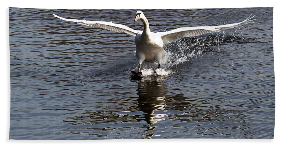 Swan Beach Towel featuring the photograph Swan Touches Down by Chris Day