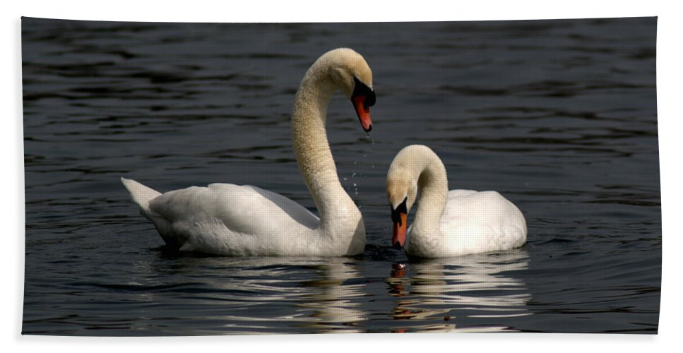 Mute Swan Beach Towel featuring the photograph Swans Swimming by Chris Day