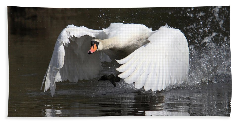 Swan Beach Towel featuring the photograph Take Off by Mark Heywood