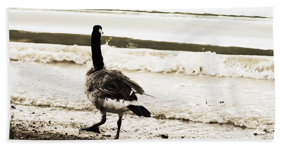 Canadian Goose Beach Towel featuring the photograph Testing The Waters by Douglas Barnard