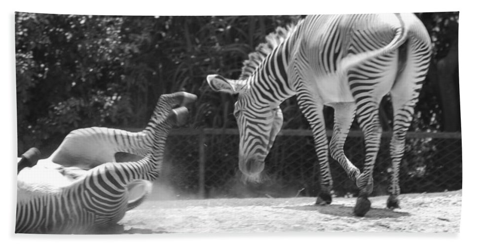 Animal Beach Towel featuring the photograph The Back End In Black And White by Rob Hans